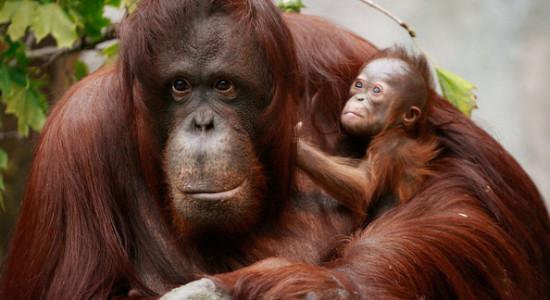 orangutan_14