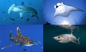 shark_ray_0