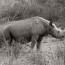 western-black-rhino-m-brunel